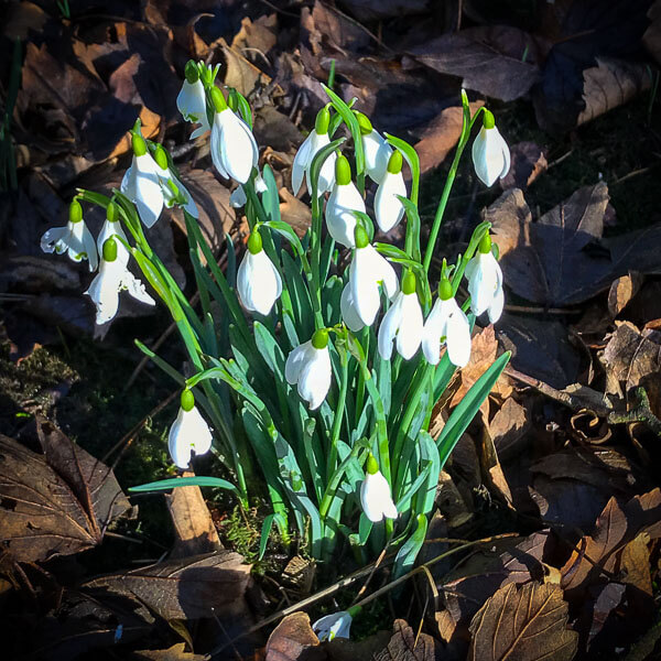 Thrumpton-Hall-Snowdrops
